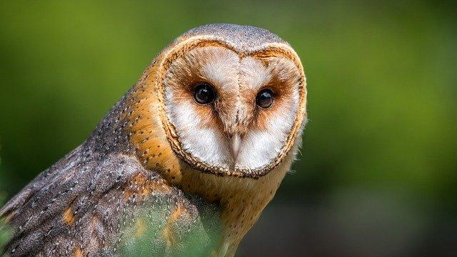 barn-owl-gf7a999c0c_640