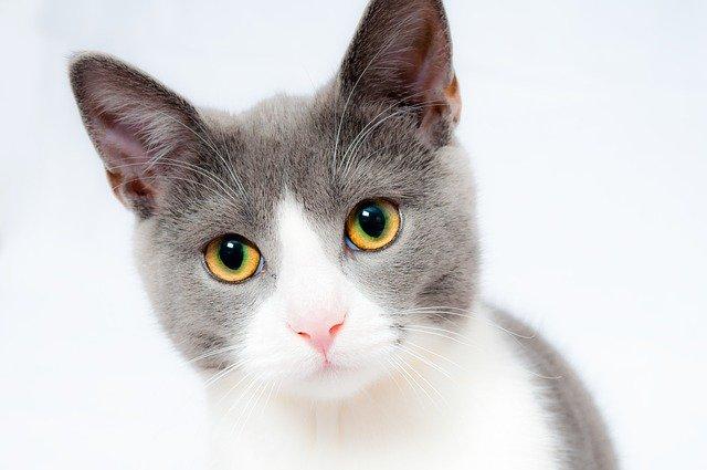 bílošedá kočka
