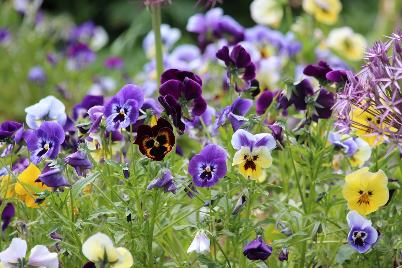 kvetoucí macešky