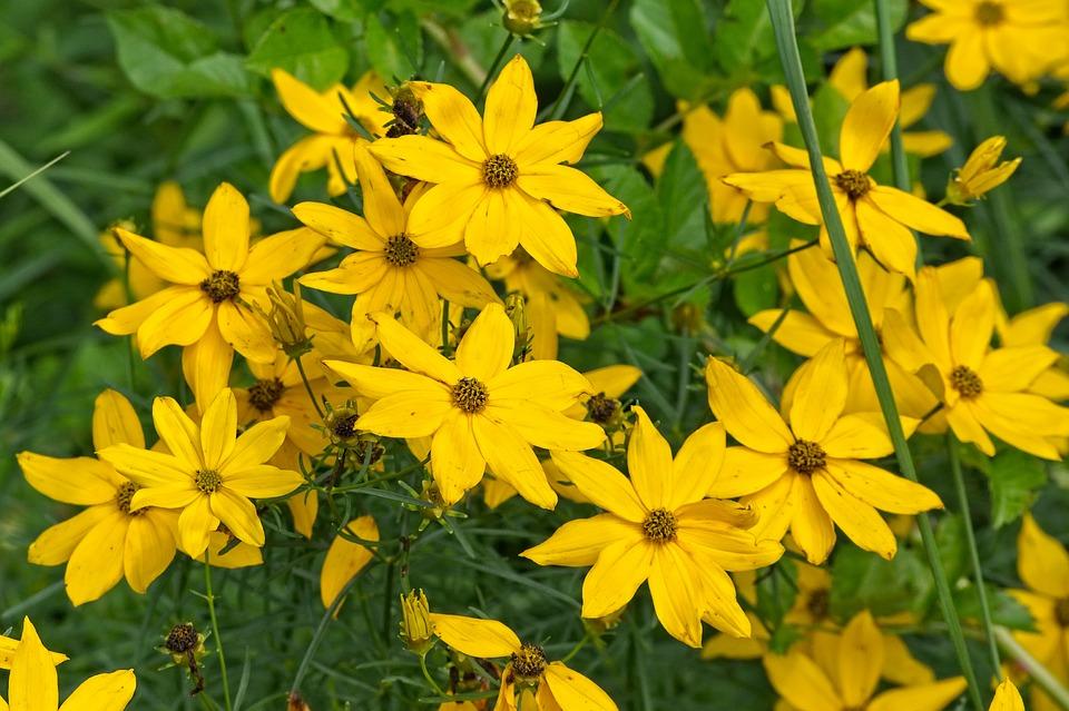 kvetoucí topinambury